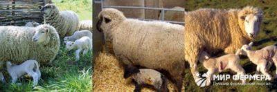 разведение овец как бизнес выгодно или нет